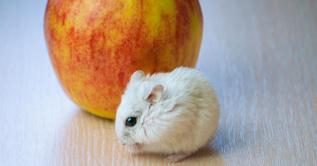 Comida hamster